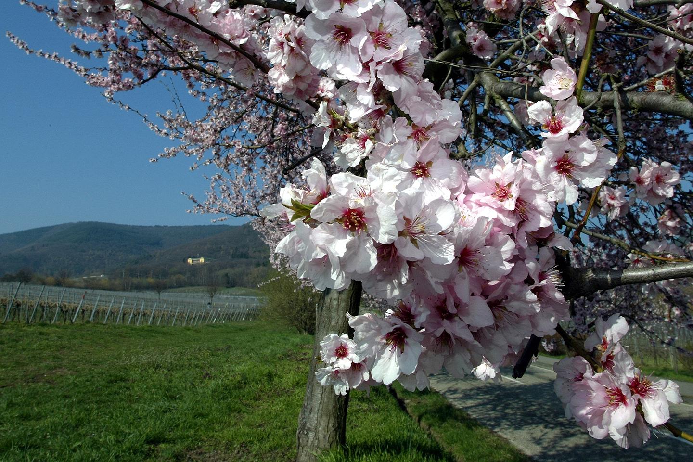 Almond tree in bloom_2